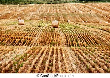 bundles of hay in the field