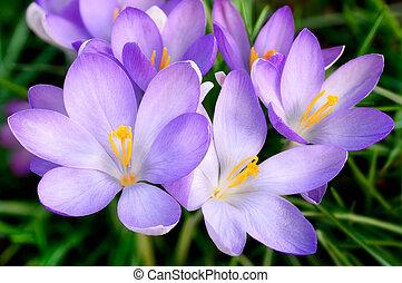 bundtet af, crocus, blomster