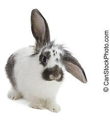 bunny, 在懷特上, 背景, 被隔离