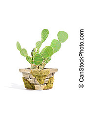 Bunny Ears Cactus (Opuntia Microdasys) in Pot Isolated on White Background