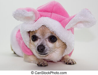 bunny easter, chihuahua
