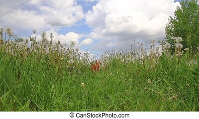 bunny galloping in the midst of tall grass , farm, pets