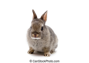 Netherland Dwarf bunny on white background