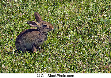 Bunny rabbit - Cottontail bunny rabbit sit grass in the...