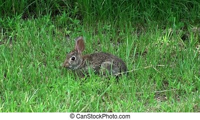 Bunny Rabbit In The Wild