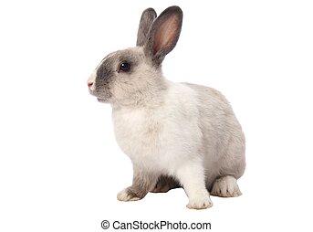 Bunny Rabbit Isolated - Cute gray and white bunny rabbit...