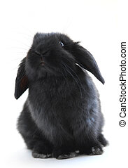 Bunny rabbit - Black holland lop bunny rabbit isolated on...