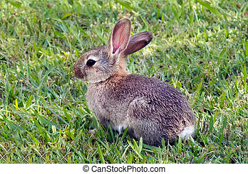 Bunny rabbit  - Cottontail bunny rabbit in the garden.