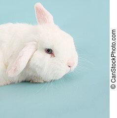 Bunny rabbit - White Easter bunny rabbit on blue.