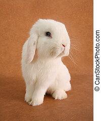 Bunny rabbit - White bunny rabbit portrait.