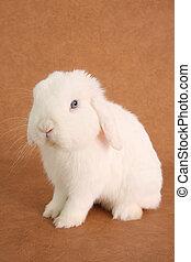 Bunny rabbit - White lop bunny rabbit.
