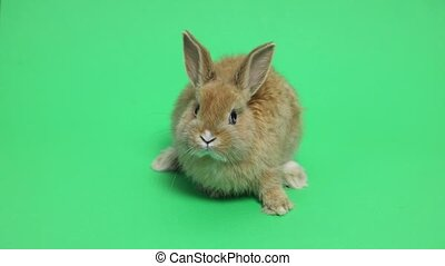 Bunny rabbit sitting in front of green background