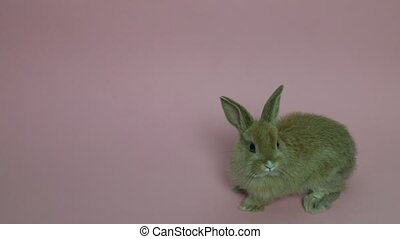 Bunny rabbit sitting in front of pink background