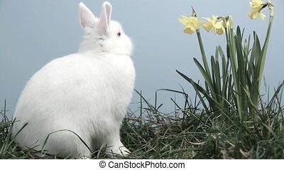 Bunny rabbit sniffing around the grass with daffodils on...