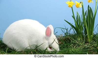 Bunny rabbit sniffing around the grass with yellow daffodils...