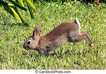 Bunny rabbit  - Cottontail bunny rabbit runs in the garden.