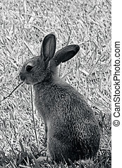Bunny rabbit - Cottontail bunny rabbit eating grass in the...