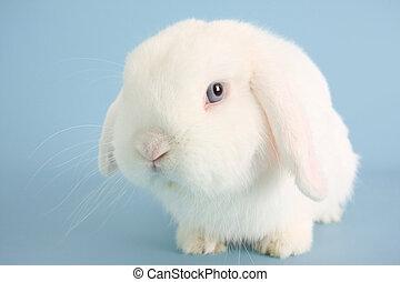 Bunny rabbit - White bunny rabbit on a blue background.