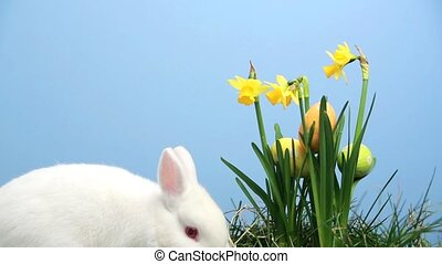Bunny rabbit with easter eggs stuck in bunch of daffodils on...