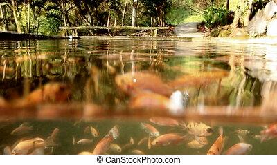 buntbarsch, underwater