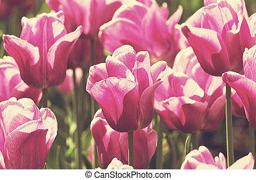 bunte, fruehjahr, tulpen