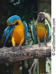 bunte, macaw