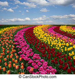 bunte, tulpen, felder, sonnig, niederländisch, tag