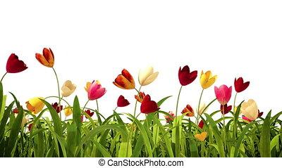 bunte, tulpen, mit, alpha-kanal