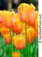 bunte, tulpen