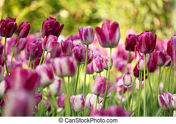bunte, tulpenblüte, blume