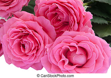 buquet, close-up, roses., vista