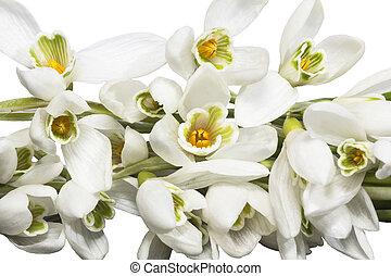 buquet, isolado, fundo, snowdrops, flores brancas