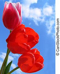 buquet, tulips