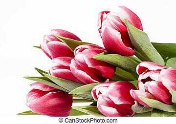 buquet, tulips, isolado, fundo, flores brancas, vermelho