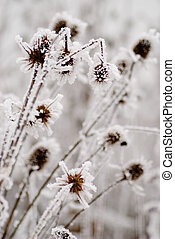 Bur on the frost in winter day, close up