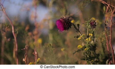 bur wobbles in the wind - Flowers reeling thistles in the...