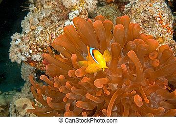 burbujee anémona, anemonefish