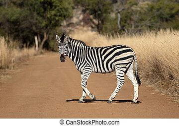 burchells, equus, quagga, zebra, ou, plaines