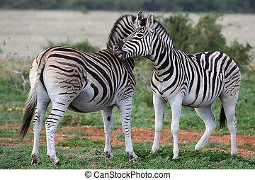 Burchells or Plains Zebra - Burchells or Plains zebras...