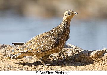 Burchell's Sandgrouse female drinks water from a waterhole in Kalahari desert