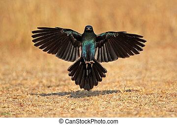 Burchells starling landing - Burchells starling...