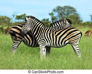 Burchell's Zebra (Equus quagga burchelli) - A Burchells...