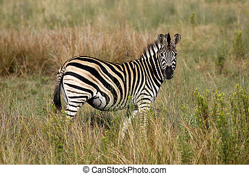 burchells zebra equus quagga burchellii on the plain of...