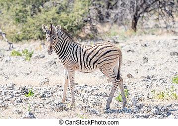 Burchells zebra foal between calcrete rocks - A Burchells...