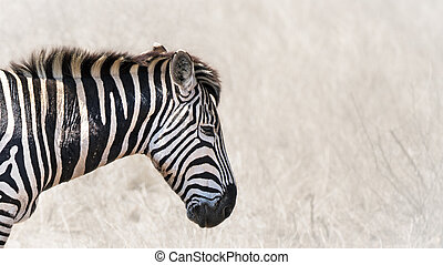 Burchells zebra horizontal banner - Close up of a Burchells...