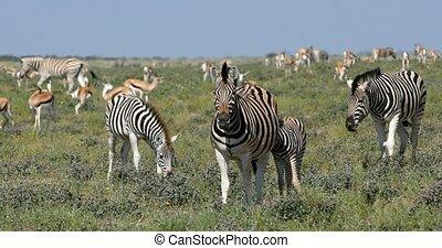 Burchell's zebra in african bush, Etosha, Namibia