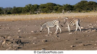 Burchells zebra in african bush on waterhole, Etosha national Park, Green vegetation after rain season. Namibia wildlife wildlife safari