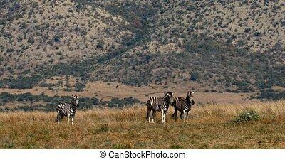 Burchell's zebra in african bush, Pilanesberg, South Africa...