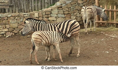Burchell's zebra mare and young foal (Equus quagga...