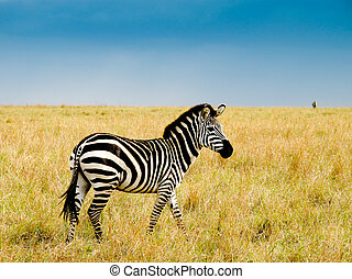 Burchells zebra on savannah plains of masai Mara national...